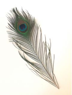 Individual Peacock Feathers